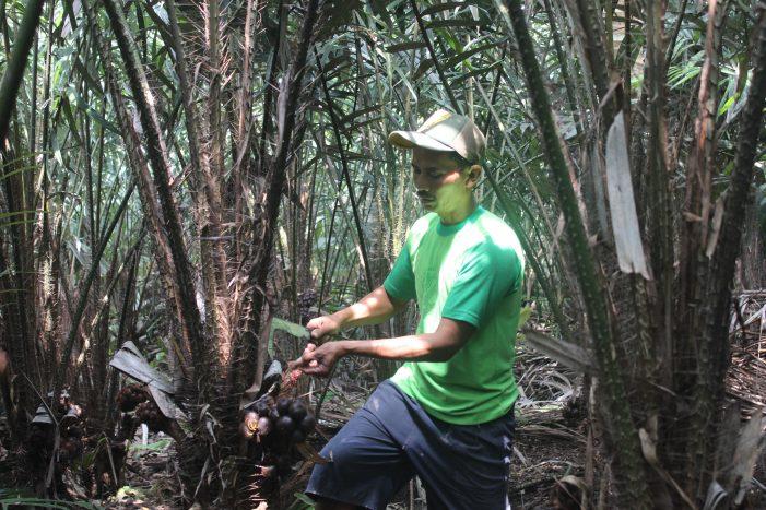 Salak Nglumut: Potensi Salak Pondoh Super di Desa Nglumut