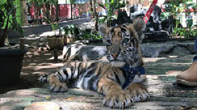 Mengunjungi Semarang Zoo, Rumah si Harimau Kecil Omni